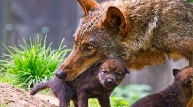 Una lupa coi suoi piccoli