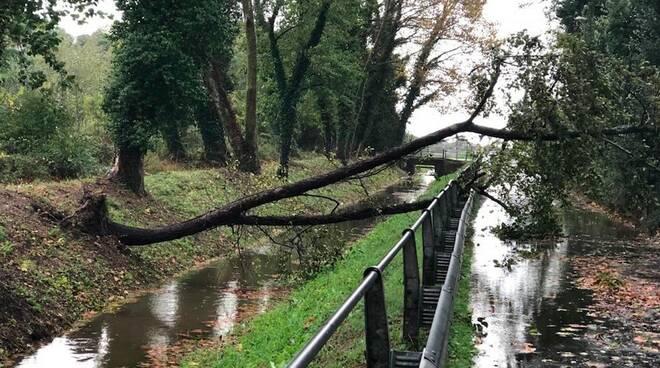 Un albero crollato sul canal Magro (Massa)