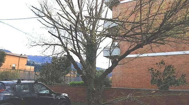 Un albero spezzato dal vento in via Minuto a Massa
