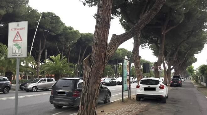I pini di viale Colombo a Marina di Carrara