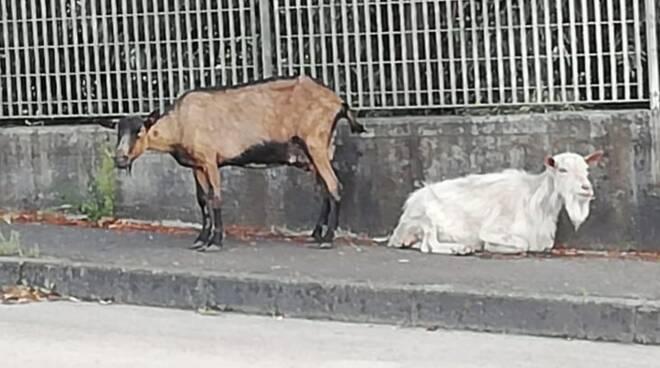 Le due capre vaganti