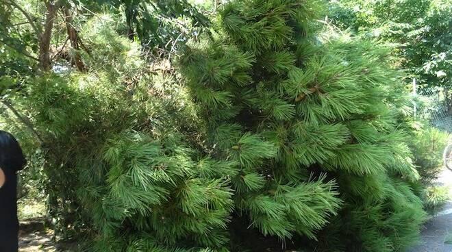 Il grosso ramo del pino del centro didattico del Wwf di Ronchi che ha colpito un uomo