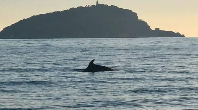 Un delfino e sullo sfondo l'isola del Tino