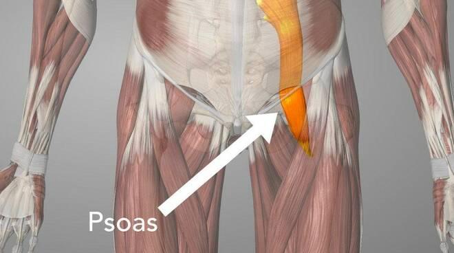 Muscolo ileo-psoas