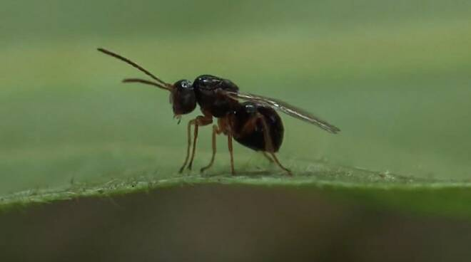 Il cinipide, la vespa cinese, del castagno