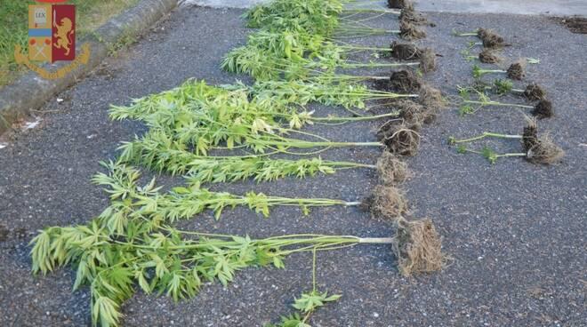 Alcune delle piante di marijuana sequestrate dalla polizia
