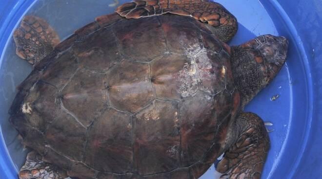 La tartaruga marina salvata