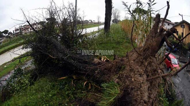 Albero caduto lungo il Frigido a Marina di Massa