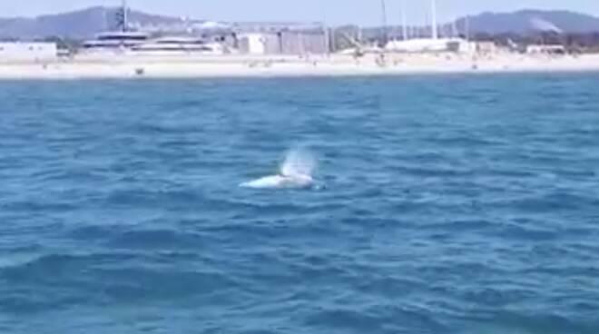 balena wally viareggio