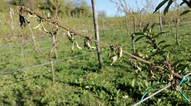 germogli gelata primavera frutteto