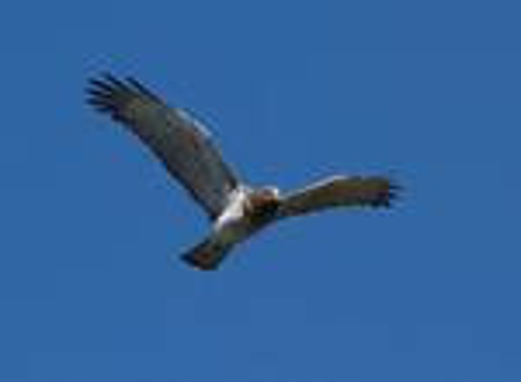 aquila aquila reale rapace falco