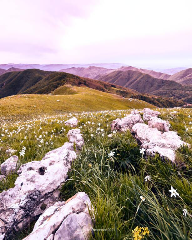 Le giunchiglie (narcisi) sul Monte Croce