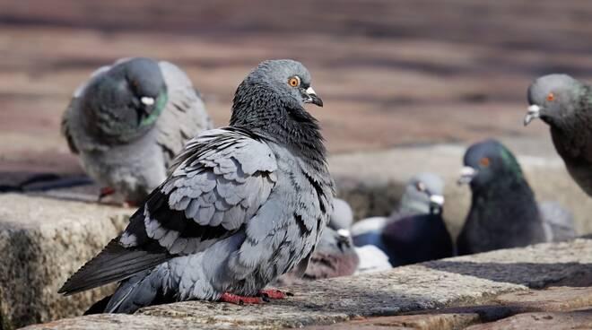 piccione piccioni
