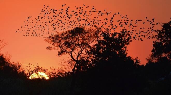 stormo uccelli storni tramonto